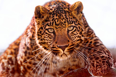 Young leopard ready to attack (Tambako the Jaguar) Tags: wild portrait playing male backlight cat zoo switzerland big eyes nikon serious young leopard ready tonis attacking d700