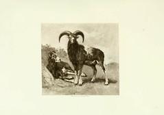 Anglų lietuvių žodynas. Žodis mouflon reiškia muflonas lietuviškai.