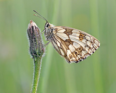 Marbled White Two (Andrew Haynes Wildlife Images) Tags: butterfly insect rugby warwickshire marbledwhite draycotemeadows ajh2008