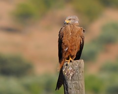 Milhafre-real / Red kite (anacm.silva) Tags: wild bird nature birds nikon wildlife natureza aves ave trsosmontes redkite castelobranco milvusmilvus vidaselvagem mogadouro anasilva milhafrereal milhano