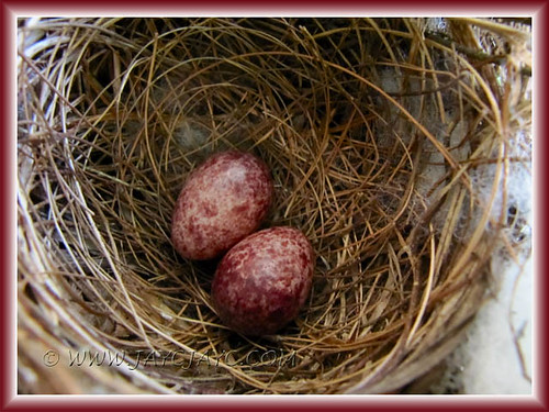 Eggs recently laid by Pycnonotus goiavier (Yellow-vented Bulbul) at our Lady Palm trees, shot June 27 2011