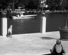 Old Lens #20 (PositiveAboutNegatives) Tags: leica blackandwhite bw dog playing film pool 50mm lab labrador yellowlab kodak rangefinder retriever summicron coolscan m7 50mmsummicron 11817 400tmx nikon9000scanner