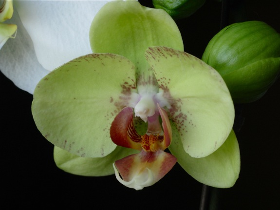 green blooming phalaenopsis orchid 001