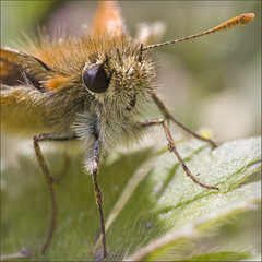 aye, aye, skipper (Black Cat Photos) Tags: uk summer england macro nature closeup butterfly blackcat insect fun photography fly photo europe flickr small group leeds moth skipper sunny m help workshop kit ideas teach share outing organised greatday smallskipper thymelicussylvestris bughunt twitter blackcatphotos