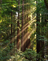 Light beams through redwoods (Pat Ulrich) Tags: california trees nature forest muirwoods marincounty redwoods talltrees muirwoodsnationalmonument d90 coastredwood sequoiasempervirens nikond90 patulrich