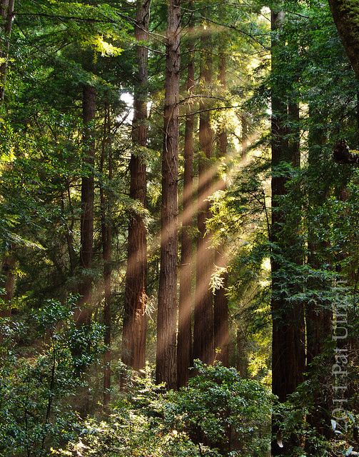 Light beams through redwoods in Muir Woods