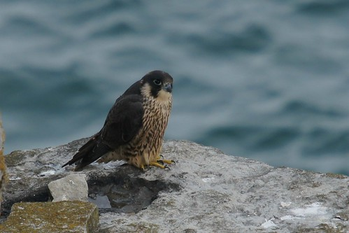 Peregrine Toe Update by julian sawyer