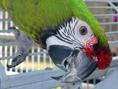 Handsome Jo Jo (RLBrinkman~in and out-mostly out) Tags: birds macaw pars parrots greenwingmacaw scarlettmacaw