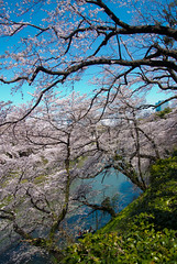 Beautiful Time (shinichiro*) Tags: sky flower japan tokyo spring april  getty sakura cherryblossoms crazyshin 2012    nikon1j1 1nikkorvr1030mmf3556 6913599094 20120407dsc2505 2014flowerselect