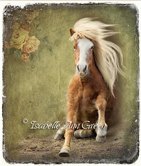 Icelandic (Isabelle Ann) Tags: horse caballo cheval vermont pferde cavallo cavalo pferd equus paard icelandic equineart thelittledoglaughed isabelleann isabelleanngreen isabellegreen