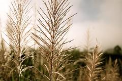 fragile (-Mina-) Tags: bali travelling nature sepia indonesia volcano wheat goingdown mountbatur