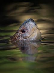 Turtle's Head