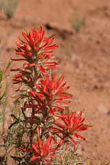 Desert Paintbrush (Julie Magers Soulen) Tags: flowers red flower desert bloom wildflower canyondechelly redflower indianpaintbrush desertflower prairiefire redwildflower hotflowers flowerbotanical redfloral