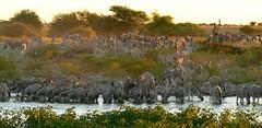 Namibia (tor-falke) Tags: africa wild game animal wildlife ngc zebra afrika namibia etosha torfalke flickrtorfalke