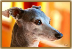 PICCOLO~BOSS LADY OF THE HOUSE~ (mutter2009 *OFF*) Tags: dog piccolo italiangreyhound coth supershot nikond60 bej alittlebeauty coth5 sunrays5