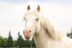 White Stallion. (PopTheHotCat) Tags: horse pony stallion foal