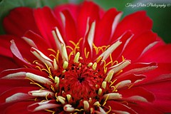 Red passion (Terezaki ✈) Tags: travel red flower macro nature yellow closeup photography photo spring searchthebest details athens passion pictureperfect naturesfinest flowerscape ncg fiora 100faves 150favs 50faves 100favs anawesomeshot flickrdiamond theperfectphotographer natureselegantshots
