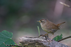 I see you (finor) Tags: bird nature animals spring sony wren eura