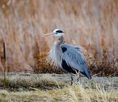 Great Blue Heron (Pattys-photos) Tags: greatblueheron marketlakewildlifemanagementarea