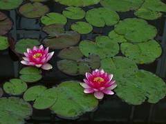 雨の日の睡蓮 (e_haya) Tags: flowers lily 睡蓮 fujifilmxf1