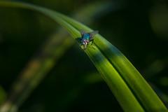 Metallic gloss (Tore Thiis Fjeld) Tags: sunlight color macro nature norway fly nikon metallic curve d800