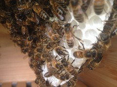 Here is a recent swarm of honey bees that I retrieved and passed onto one of my customers.