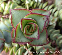 Rosetta of Buttons (Rebecca Camfield) Tags: plant green succulent buttons string crassula perforata
