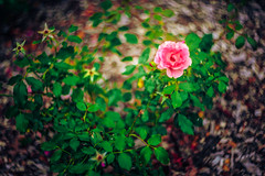 Helios whirlpool (Arutemu) Tags: a7r sony sonya7r ilce ilcea7r helios helios402 helios85mm 85mm russianlens lens bokeh blur dof nature park rose flower flowers