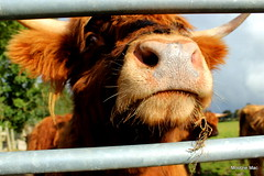 I nose I'm gorgeous (mootzie) Tags: nose highland cow ginger hairy scottish scotland horns whiskers gate aberdeenshire