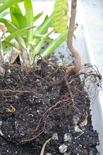 Mystery Plant Roots