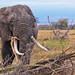 Amboseli, réveil de l'éléphant