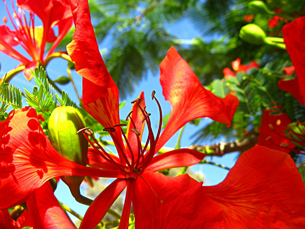 17-06-2011-flame-tree-flower4