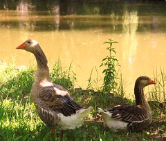 Lui e lei ......imbronciati!!!!! (Annamaria Rizzi) Tags: parco natura sole laghetto oche opposti bovolone estremità parcodelmenago