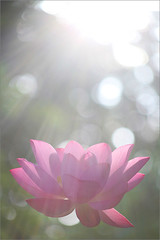 Lotus Flower at Sun Rise - IMG_6200 (Bahman Farzad) Tags: flower macro yoga peace lotus relaxing peaceful meditation therapy lotusflower lotuspetal lotuspetals lotusflowerpetals lotusflowerpetal