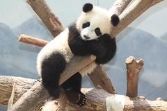 2011 06 09 Zoo Atlanta - Lun Lun & Po 021 (giantpandazoo.com) Tags: po zooatlanta lunlun pandacub kungfupanda atlantapandacub lunlunpo lunluncub