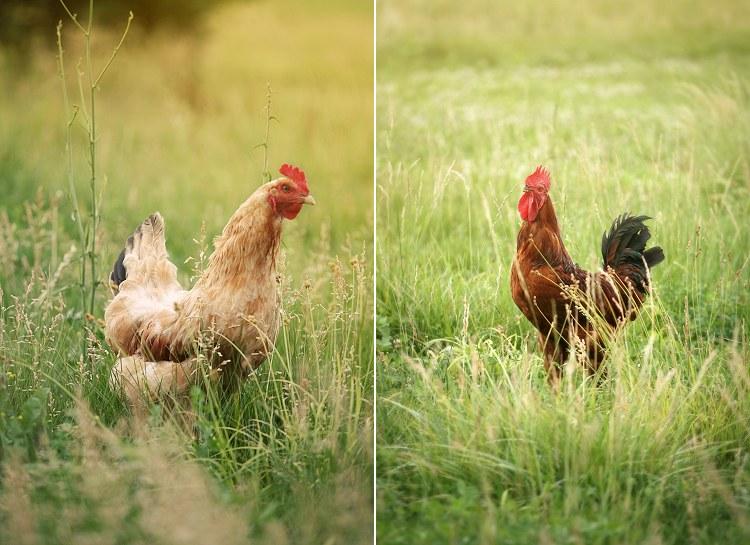 06-24-chickens1