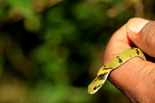 Green Keelback - Juvenile