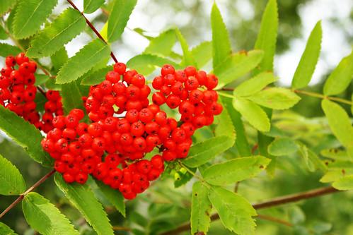 Rowan berries by Helen in Wales