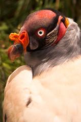 Vautour Royal | King Vulture |Zopilote Rey (Halbazar) Tags: naturaleza nature perú cajamarca kingvulture pérou faune 190mm nikond90 granjaporcon zopiloterey dsc3829 vautourroyal 1640sàf10