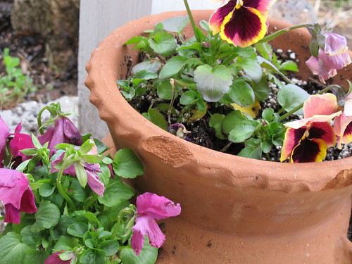 Pretty pansies can survive our quixotic Spring