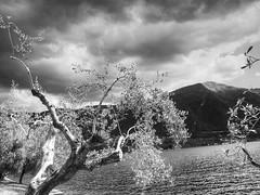 Iseo2014_P5011872 copia (stegdino) Tags: cloud lake tree water lago nuvola stormy albero acqua tempesta ulivo iseo scavengerhuntergatherer shg92 100xthe2014edition 100x2014 image34100