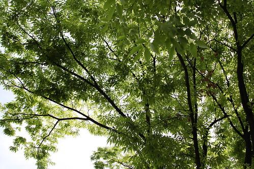 大きな木陰です