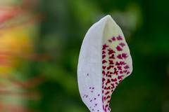 Rhealis (Ryoushi no syokubutsuen) Tags: flowers plant abstract orchid flower art garden botanical photography leiden phalaenopsis orchidaceae ramon hortus bril stuartiana