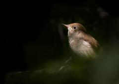 Nightingale (Birder Griff) Tags: bird nature scotland wildlife avifauna nightingale