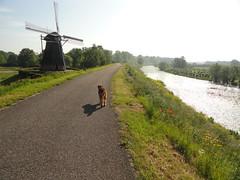 2014-0920 (schuttermajoor) Tags: nederland hond che waal 2014 airedaleterrier waardenburg tielerwaardwandelroute