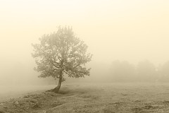lonely tree with beautiful light and fog (Mimadeo) Tags: morning light blackandwhite sunlight white mist black tree nature wet leaves misty fog sepia landscape leaf spring haze solitude branch natural foggy meadow tranquility foliage bark trunk dreamy lonely copyspace hazy solitary springtime