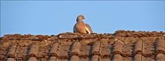 Dachwächter - roof guard