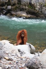 Orangutn en Bukit Lawang, Indonesia (goossi) Tags: orangutn selva bukit lawang sumatra indonesia