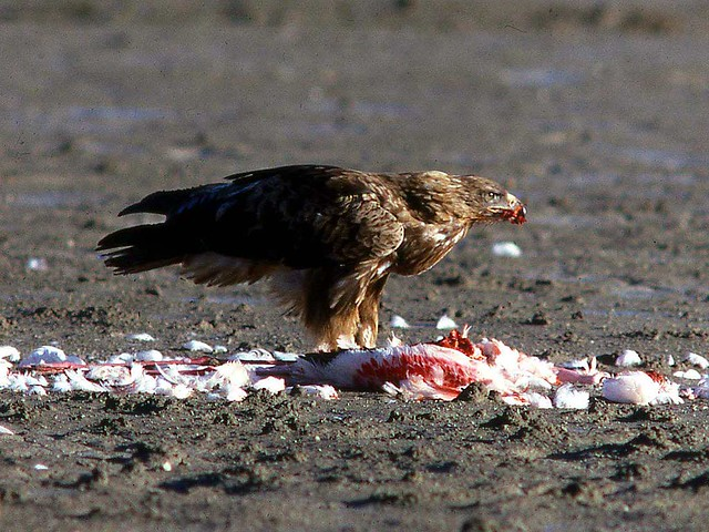 19 Eagles: Aquila rapax eating flamingo