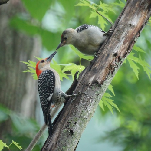 Red Bellied Woodpecker Feeding